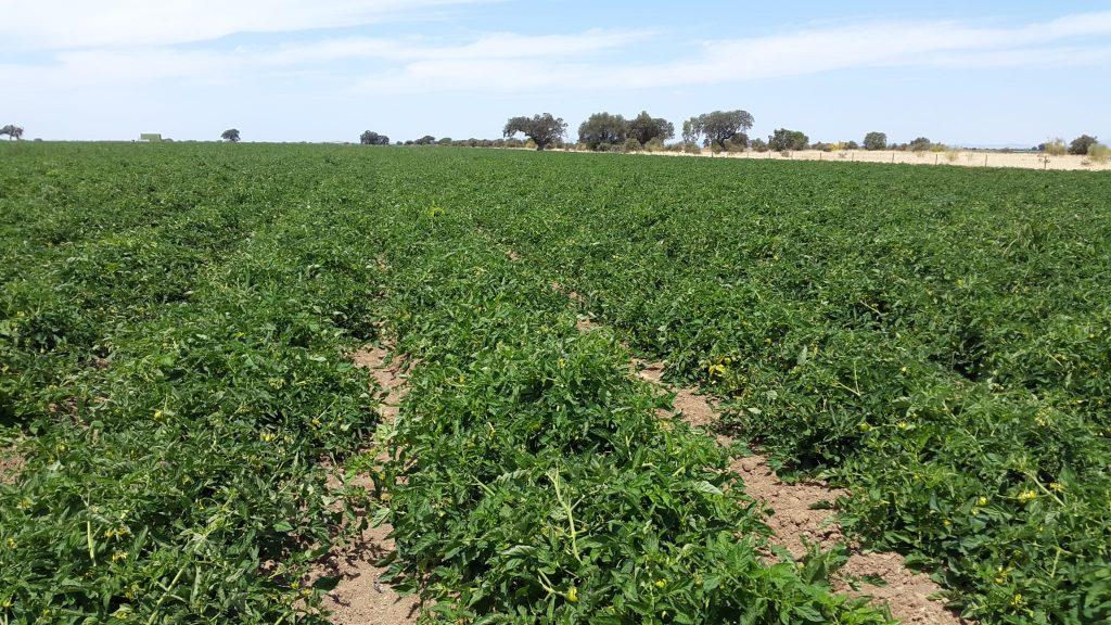 Plantación con abono para tomates 100% orgánico