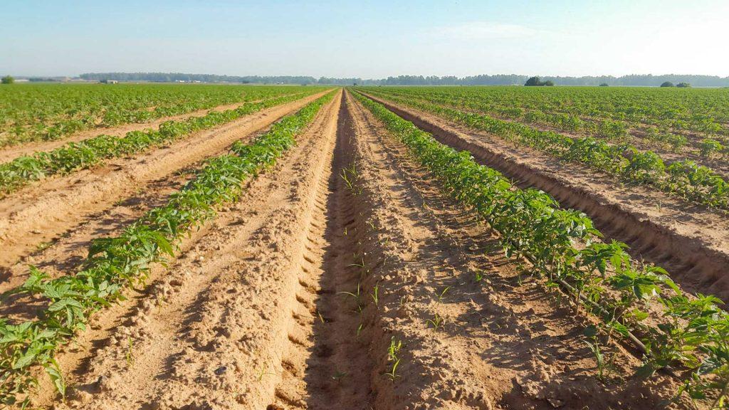 Plantación con abono para tomates