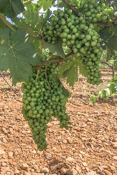 Viña abonada de abono orgánico