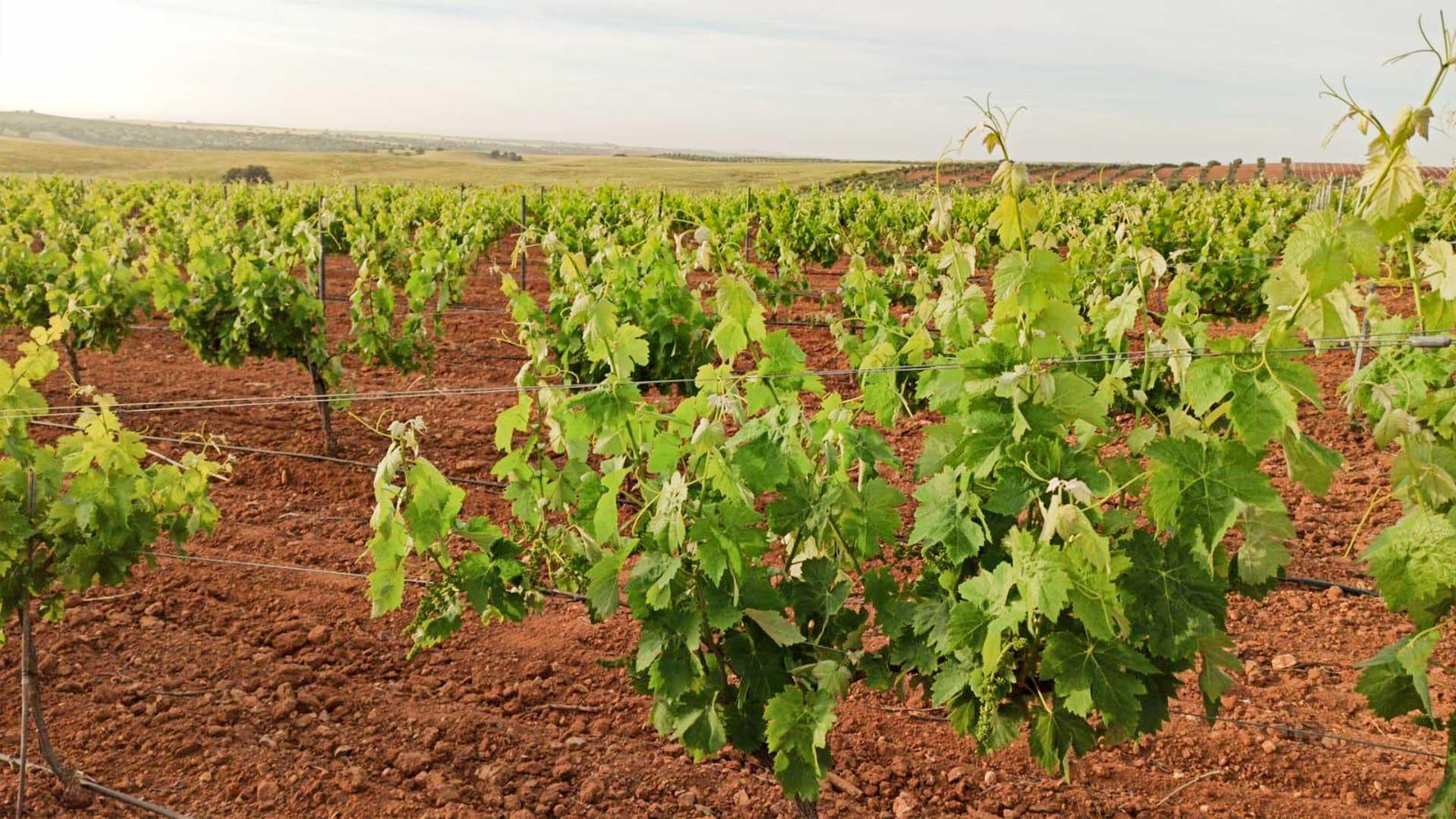 Viñedo en Extremadura con abono de ferticampo