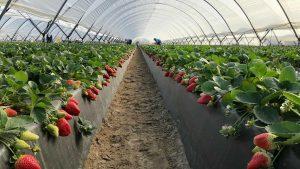 Abono para fresas